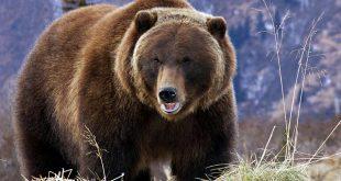 رؤية دب في المنام , تفسير رؤيه الدب في المنام