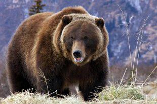 صورة رؤية دب في المنام , تفسير رؤيه الدب في المنام