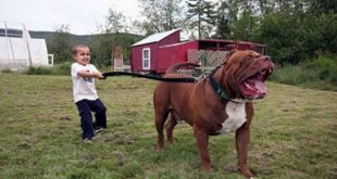 صور صور كلب بتبول , مواصفات واشكال الكلاب البيتبول