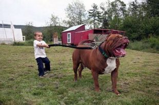 صورة صور كلب بتبول , مواصفات واشكال الكلاب البيتبول