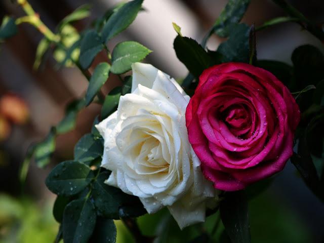 صورة صور ورد طبيعي , اجمل اشكال الورد الطبيعي